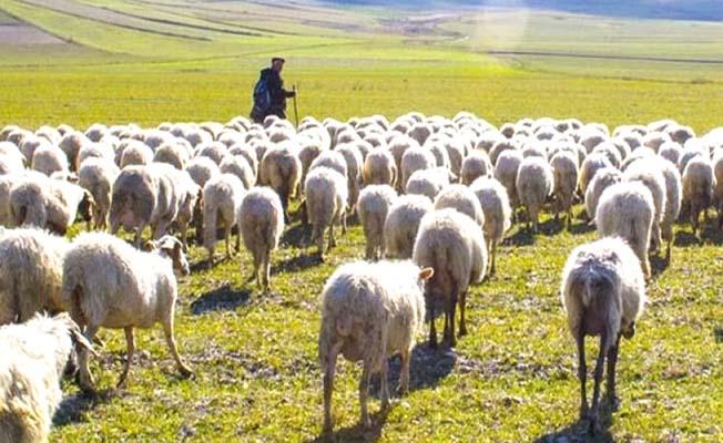 Çoban gitti, geri dönmedi