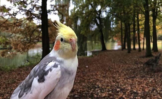 Çorumlu'nun papağanı Türkiye'yi kendine hayran bıraktı