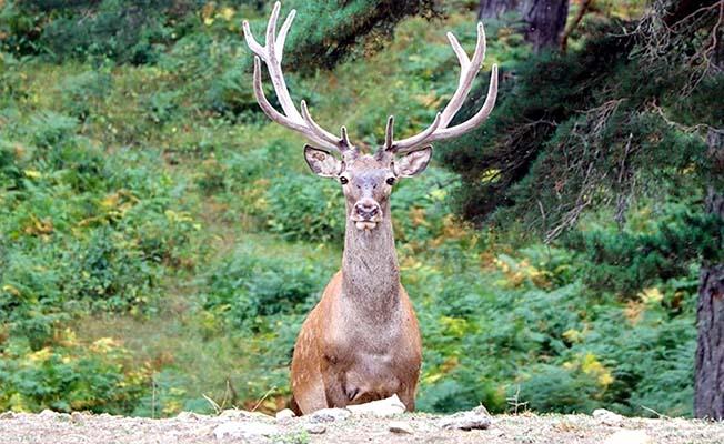 Kızıl geyikler doğaya salındı