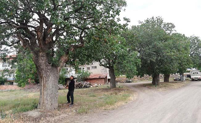 Çitlembikler anıt ağaç oldu