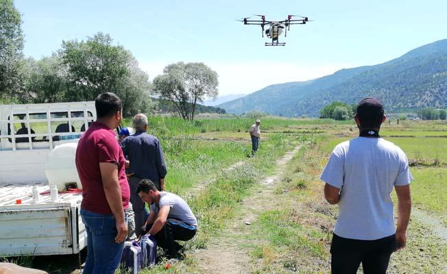 Çeltik tarlalarında droneler çalışıyor