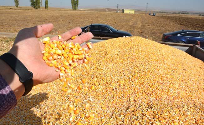 Alaca'da dane mısır hasadı