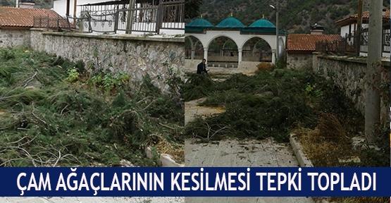 Çam ağaçlarının kesilmesi tepki topladı