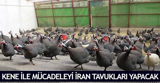 Kene ile mücadeleyi İran tavukları yapacak