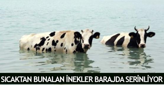 Sıcaktan bunalan inekler barajda serinliyor