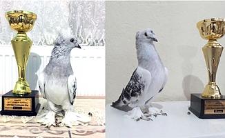 Bu güvercinler kupa aldı