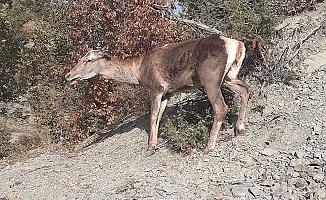 Yaralı geyik Sıklık'ta