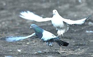 Taklacı güvercinler yarıştı
