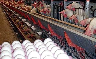 Yumurta ihracatına virüs darbesi