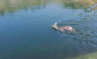 Sulama kanalına düşen karaca son anda kurtarıldı
