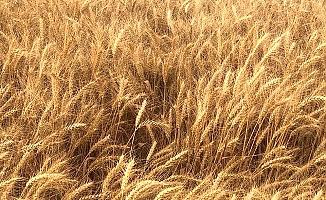 Çorum, ekmeklik buğday üretiminde söz sahibi