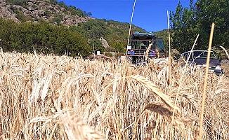 Buğdayı sıcak vurdu
