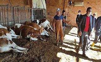 Elektrik çarptı, 9 inek telef oldu