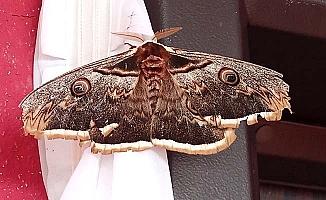 Dünyanın en güzel kelebeği Çatak'ta