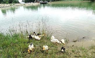 Yavru ördekler Yeşil Göl'de