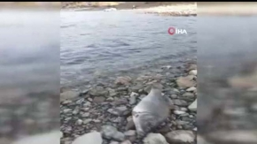 Çorum'da endişelendiren balık ölümleri